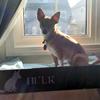 Hund fönster hylla